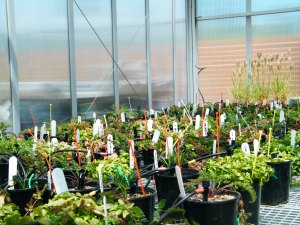Glasshouse experiment testing the water response of alpine plants, based upon their source elelvation