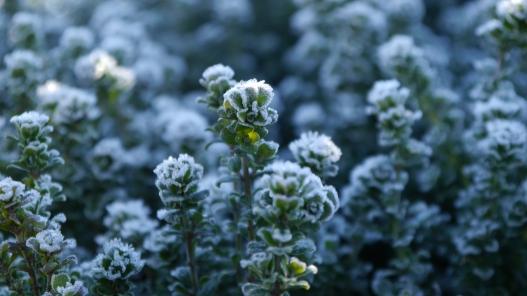 Prostanthera cuneata, an alpine mint bush