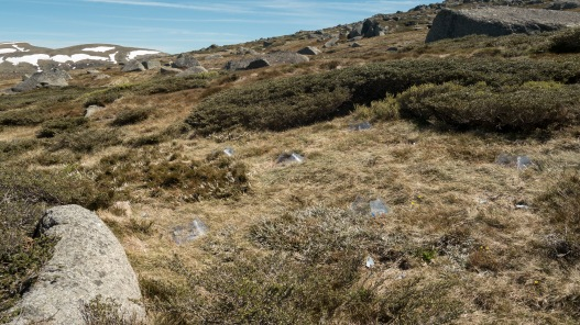 Aciphylla glacialis transplant experiment using Open Top Chambers, Mt Kosciuszko