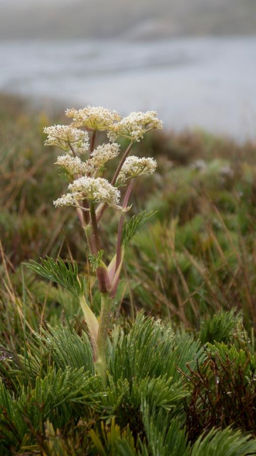 Flowering Aciphylla glacialis