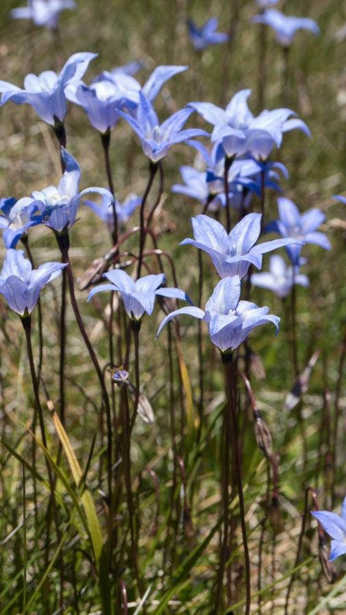 Study species Wahlenbergia ceracea, Mt Kosciuszko