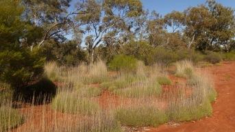 Study species Triodia scariosa at our Semi-arid site, NSW