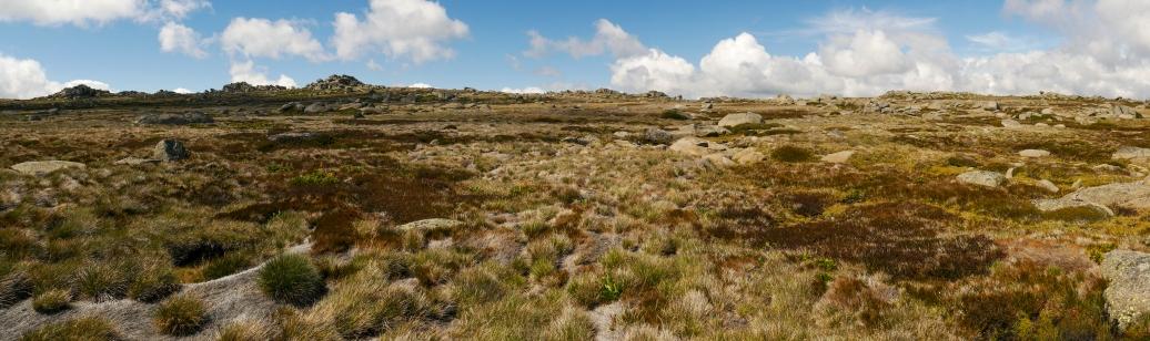 Tall alpine herbfield